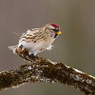 Redpoll Lean by Bill McMullen