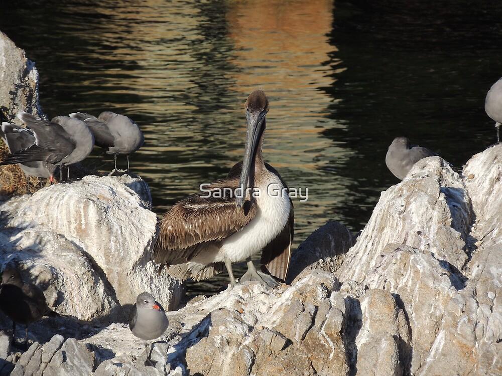 Brown Pelican by Sandra Gray