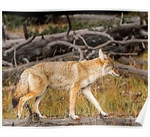 Coyote crossing along a log Poster