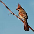 Lady Cardinal by barnsis