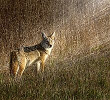 Coyote in the sunset by Patrick Kavanagh