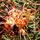 Christmas Grevillea by Lynne Kells (earthangel)