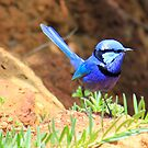 Splendid Blue Fairy Wren by Susan Moss