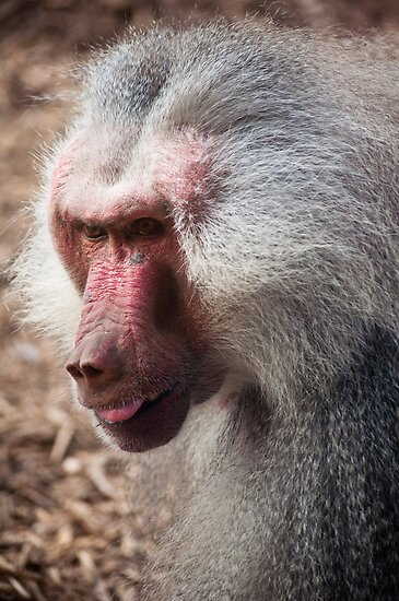 Baboon, Royal Melbourne Zoo by Helen Barnett