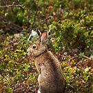 Snowshoe Hare by Skye Hohmann