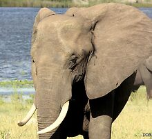 Riverside Elephant by Donald  Mavor