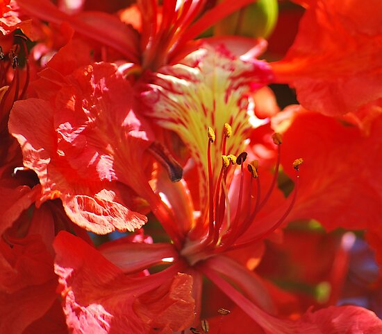 Flamboyant Red Flowers II by tropicalsamuelv