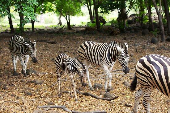Mauritius - Zebra's at Casela Park by mattnnat