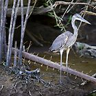 Costa Rica - Blue Heron by mattnnat