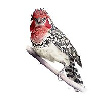 Red-and-yellow Barbet Photographic Print