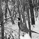 """Still, MOTIONLESS and thinks """"don't see me, don't see me"""" poor Pheasant that cold will!!!  VETRINA RB EXPLORE 13 FEBBRAIO 2013 - by Guendalyn"""