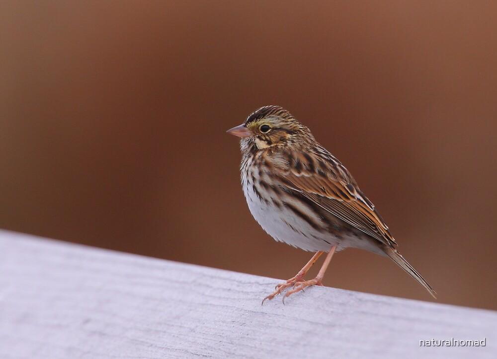 Savannah Sparrow by naturalnomad