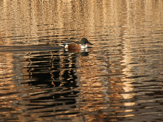 Northern Shoveler by Thomas Young