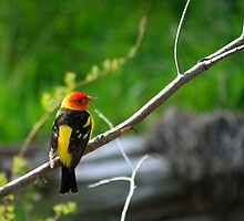 Western Tanager by DArthurBrown