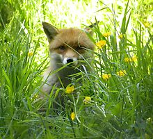 Fox in Meadow by Fattom25