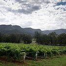 Tend the vines - NSW - Australia by Norman Repacholi