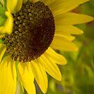 Sunflower by Armando Martinez