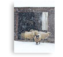 Winter Snow on Sheep Metal Print