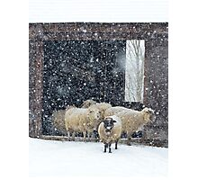 Winter Snow on Sheep Photographic Print