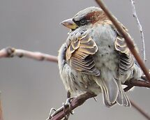 Sparrow On A Gray Day by lorilee