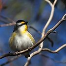 Striated Pardalote by Marion  Cullen