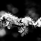 A branch of Graves Plum Blossom in monochrome by Elana Bailey