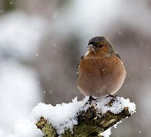 a finch during a snowfall by Franc Wiedenhoff