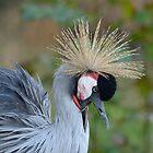 Grijze Kroonkraanvogel / Grey Crowned Crane by MaartenMR
