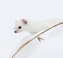 Least weasel by Remo Savisaar
