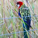 Eastern Rosella by Will Hore-Lacy