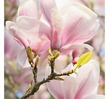 Magnolia Flowers. by Alyson Fennell
