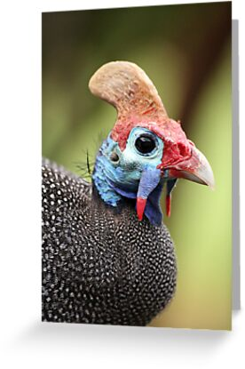 Guineafowl Portrait - Petrusburg, Free State, South Africa by Qnita