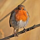 Round Robin by dilouise