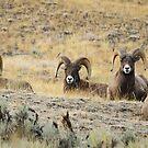 Rocky Mountain Sheep  by David Clark