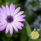 Purple Daisy by Vac1