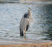 Old Herron by JimmieTs