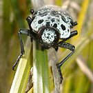 Capnodis Cariosa (Chrysochroinae) by taiche