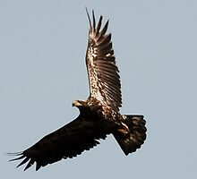 Young Eagle by JimmieTs