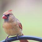 Female cardinal by Penny Rinker