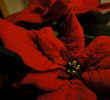 Christmas Poinsettia by opentoesandals
