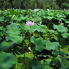 Lotus flowers - Anhui, China by John Kleywegt