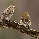 Common Redpoll and American Goldfinch by Bill McMullen