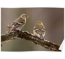 Common Redpoll and American Goldfinch Poster