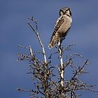 Northern Hawk Owl (Surnia ulula) by Marty Samis