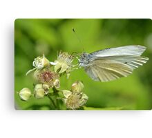 Cabbage White Canvas Print