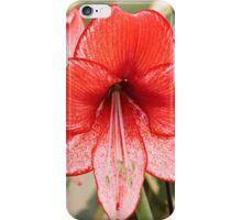Christmas Amaryllis iPhone Case/Skin