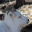 Dall Sheep (Ovis dalli)  by Jazzy724