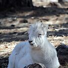 Lamb Dall Sheep  by Jazzy724