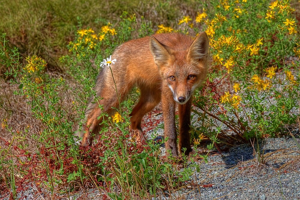 Coola Foxie by JamesA1