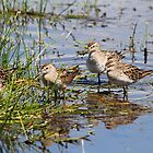 Sandpiper Congregation by byronbackyard